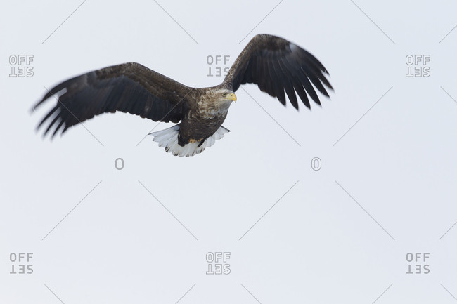 A large sea eagle in flight