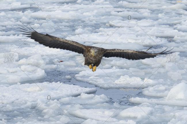 A large sea eagle in flight