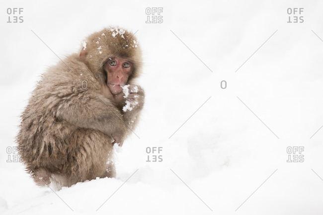 Baby snow monkey crouching in the snow