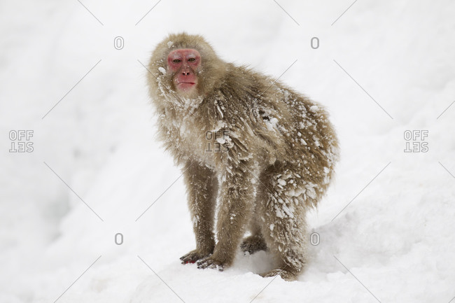 Snow monkey standing in the snow