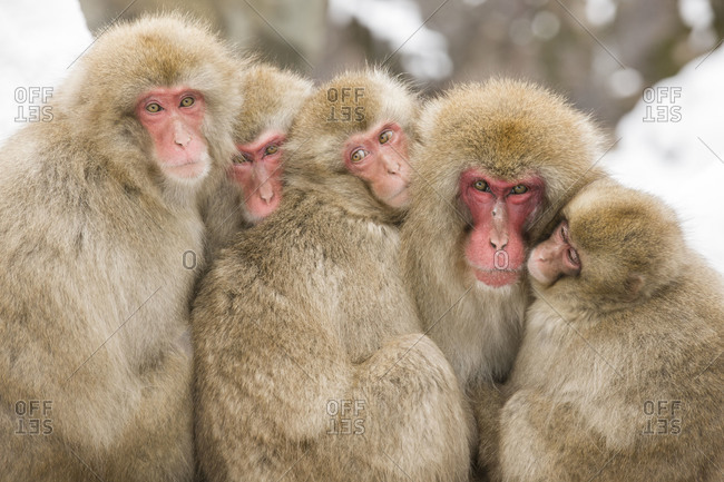 Five Snow Monkeys in a huddle