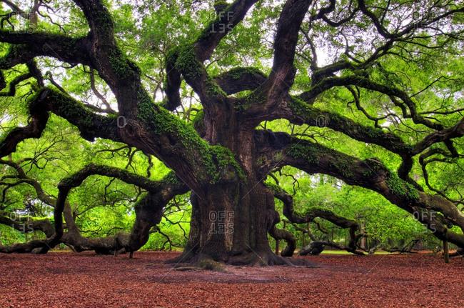 The famous Angel Oak tree located on Johns Island near Charleston, SC.