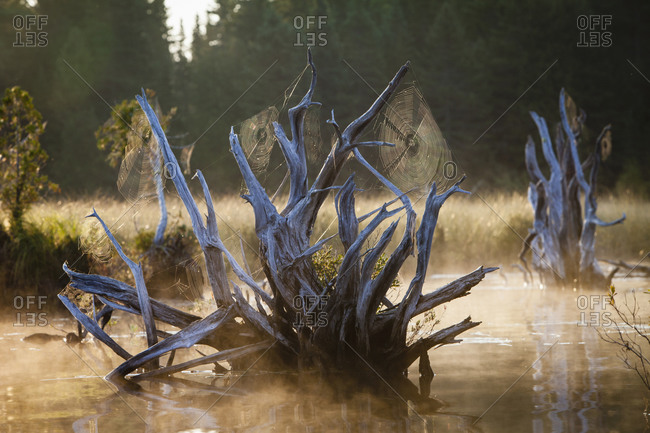 Spider webs on deadwood in Spencer Pond, Maine.