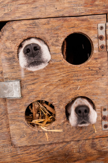 Two beagle noses sticking through holes in their cages.