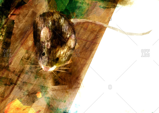 A brown mouse on a wooden floor with lumps of cheese in the foreground
