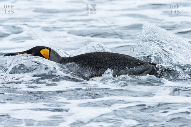 King penguin walking through the cold waters of Gold Harbor, South Georgia