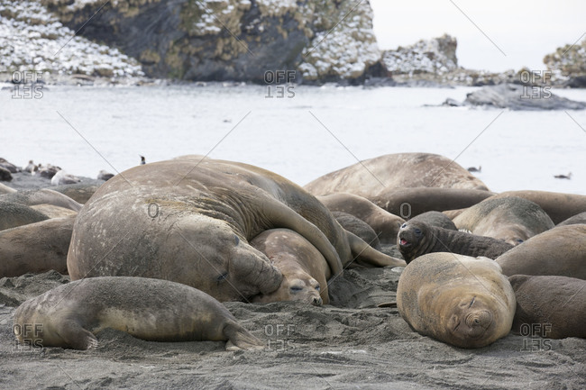 Elephant seals lying on the beach in Gold Harbor, South Georgia