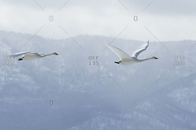 Two whooper swans fly together