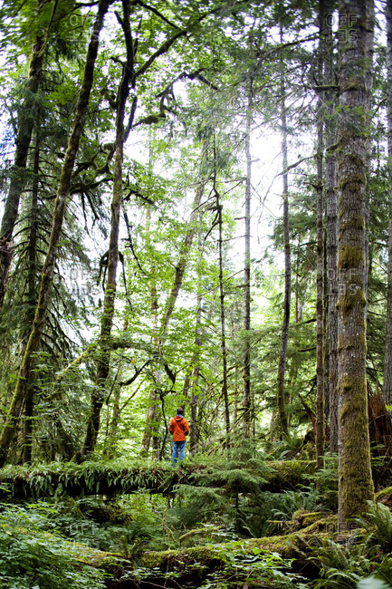 A man crosses a log in the thick green forest of the Olympic National Park.
