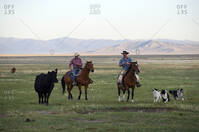 Two cowboys ride their horses with their dogs and a cow in their pasture on the Dalton Ranch in the Clover Valley, NV.