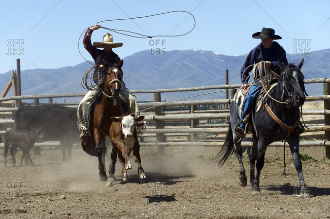 Cowboys rope a calf at a branding at the Ninety Six Ranch in Paradise Valley, NV.