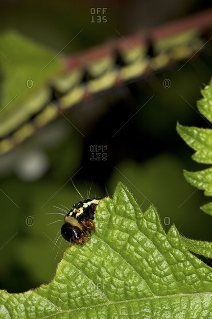 Ramie caterpillar feeding a leaf, close up