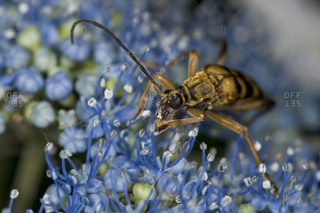 Longhorn beetle sitting on blue flower, close up