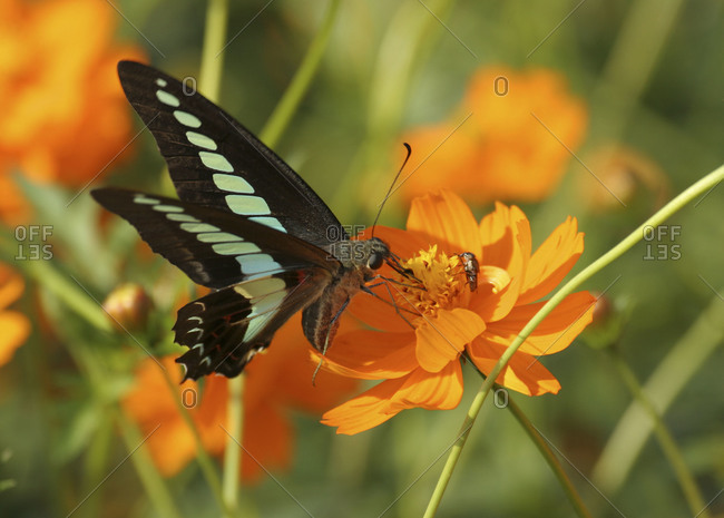 Green banded swallowtail perching on orange flower