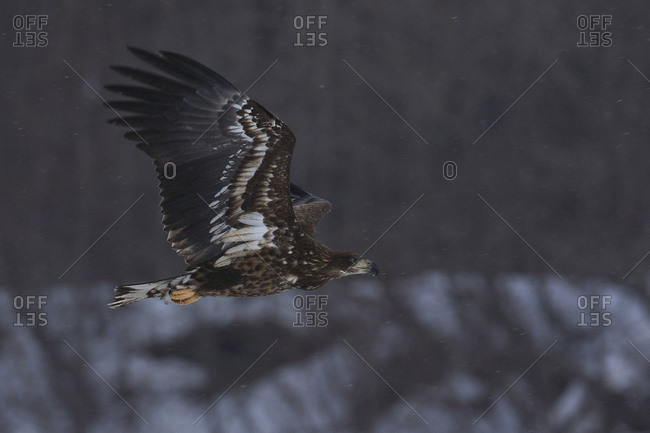 Side view of white tailed eagle flying above landscape