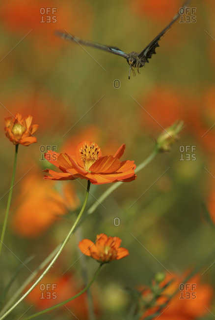 Green banded swallowtail  butterfly coming on an orange cosmos flower