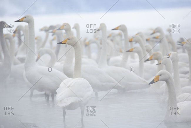 White swans bathing in Kussharo lake in winter