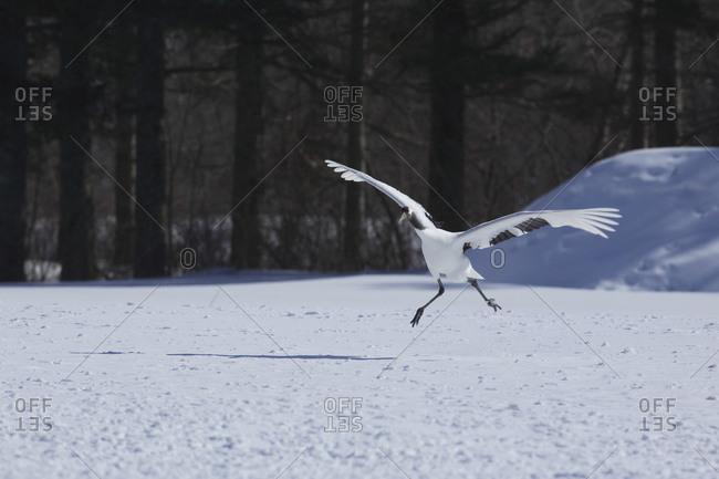 Red-crowned crane in mating dance in Akan, Japan