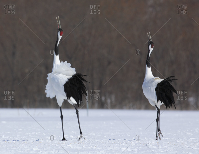 Two red-crowned cranes in mating dance in Akan, Japan
