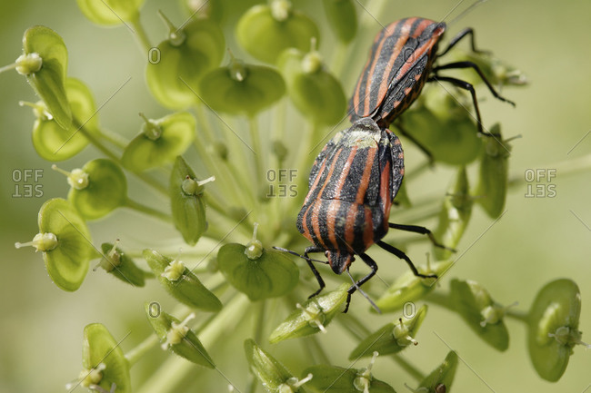 Striped bugs mating on green plant