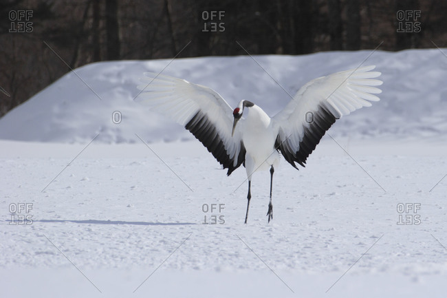Red-crowned crane in mating dance in Akan, Japan
