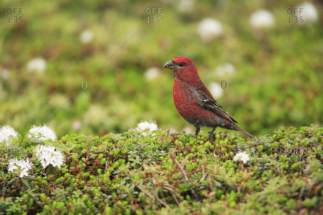 Male pine grosbeak perching on the ground