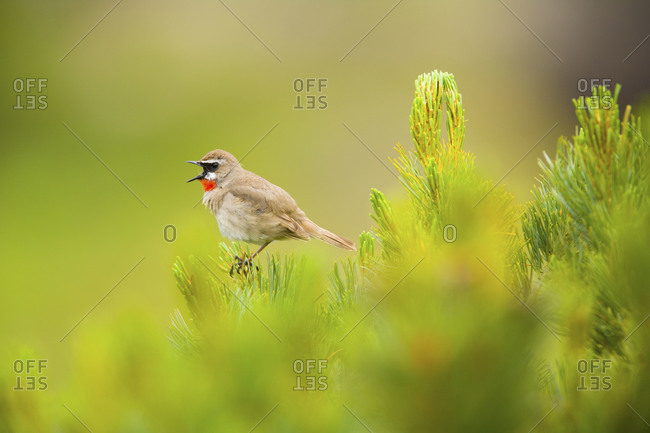 Siberian rubythroat perching on tree and singing