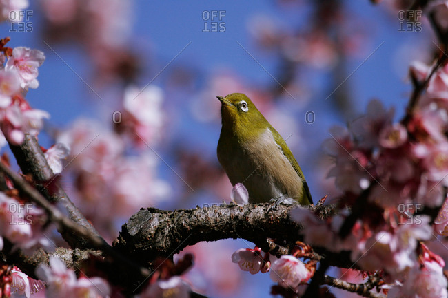 White-eye perching on blossoming tree