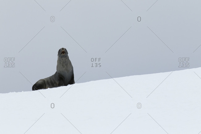 Fur seal standing on snowy hill in Antarctica