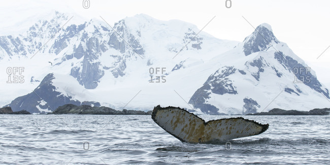 Humpback whale's tail appearing out of water against landscape in Antarctica