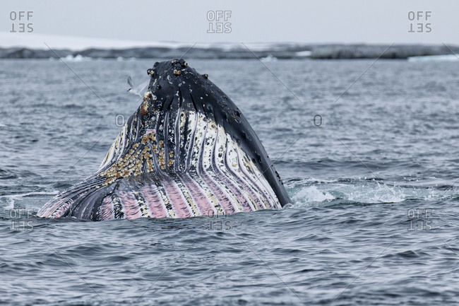 Humpback whale's muzzle appearing out of water in Antarctica