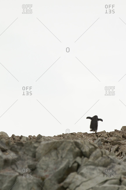 Rear view of gentoo penguin climbing rocky hill in Antarctica