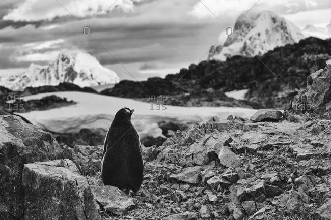Rear view of gentoo penguin sitting in rocky landscape in Antarctica