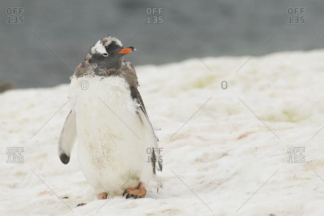 Shaggy gentoo penguin walking on snow in Antarctica