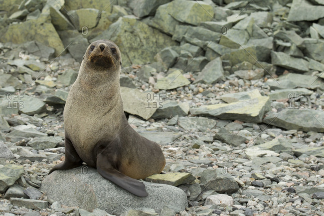 Curious fur seal standing alone on stone in Antarctica