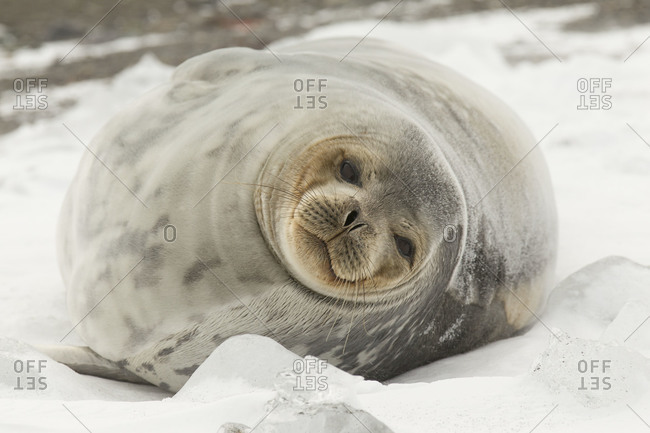 Inquisitive weddell seal lying in Antarctica