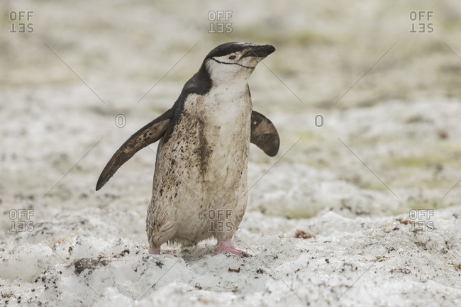 Dirty chinstrap penguin walking alone in snow