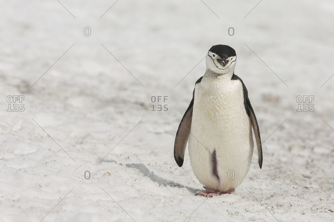 Chinstrap penguin with opened brooding pouch standing on snow