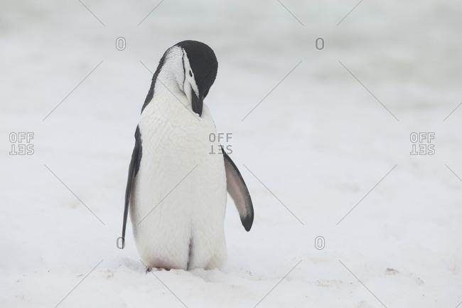 Chinstrap penguin preening in snow