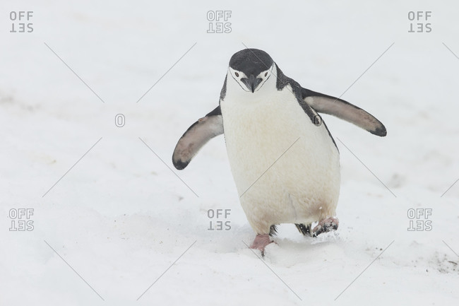 Chinstrap penguin walking alone in snow