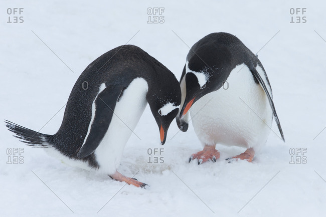 Two gentoo penguins grooming on snow in Antarctica