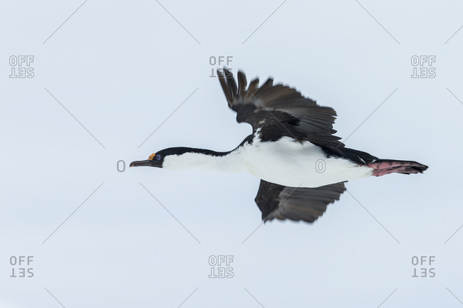 Antarctic shag flying against sky in Antarctica