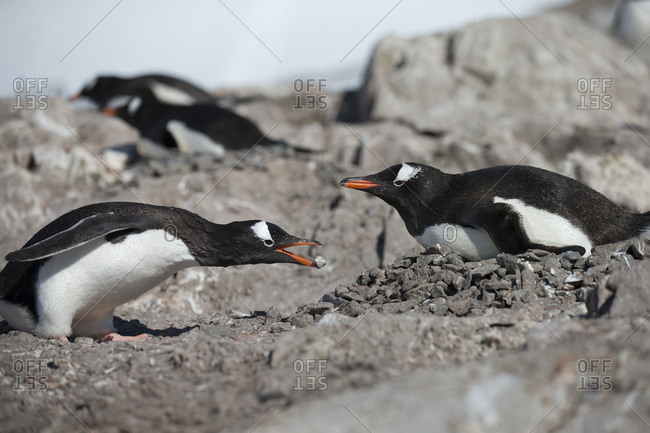 Gentoo penguins communicating in Antarctica