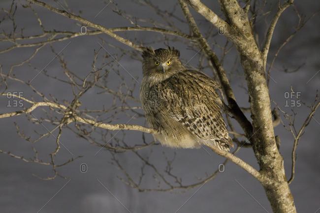 Blakiston's fish owl perching on bare tree at night