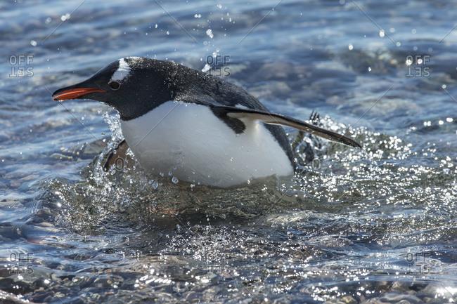 Gentoo penguin swimming in Antarctica
