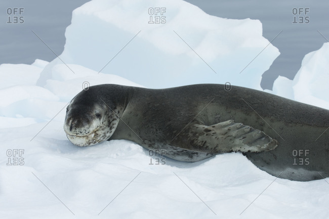 Smiling Predator - Leopard Seal with smile on his muzzle
