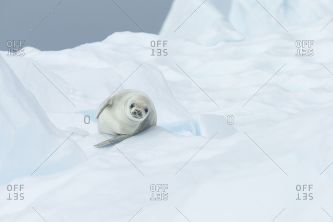 Curious crab eater lying on iceberg in Antarctica