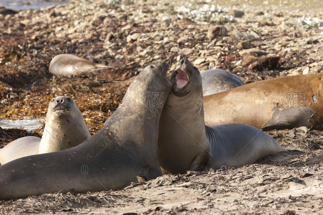 Elephant seals playing on Falkland islands