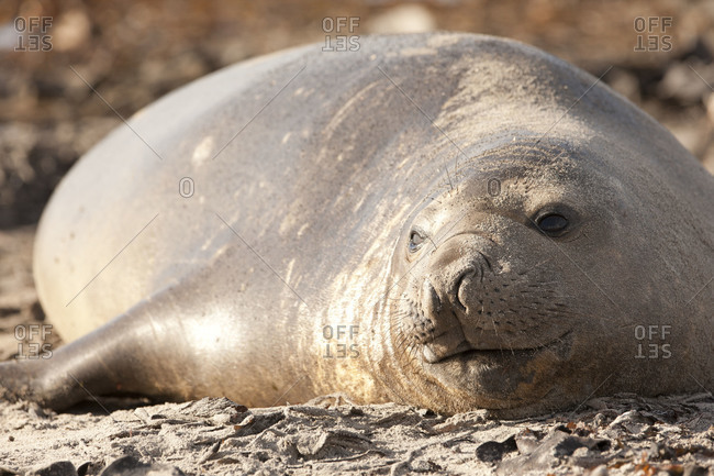 Portrait of elephant seal lying on Falkland islands