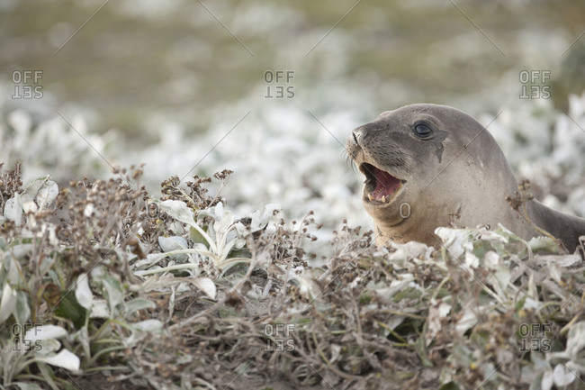 Portrait of elephant seal peeping from the bush on Falkland islands